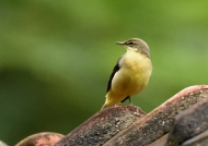 Western Yellow Wagtail – India