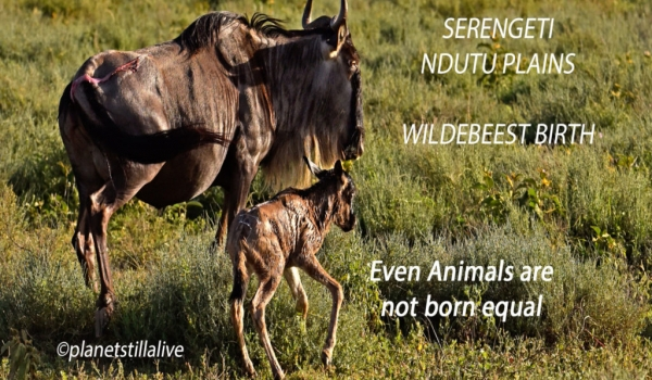 Wildebeest birth & the difficulty to survive       ———————-388K VIEWS