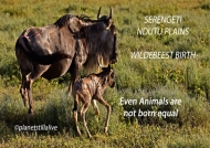 Wildebeest birth & the difficulty to survive       ———————-428K VIEWS