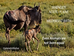Wildebeest birth & the difficulty to survive       ———————-266K VIEWS