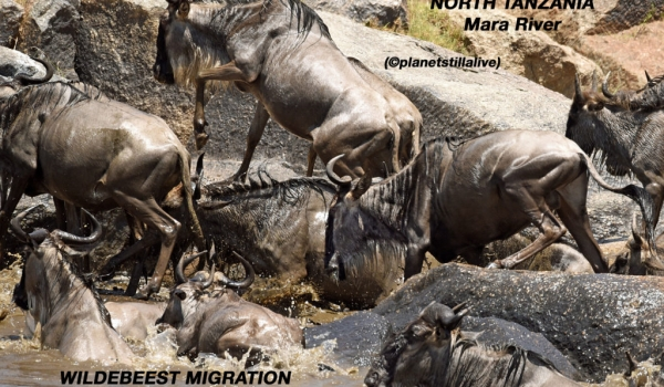 Wildebeest migration, deaths in the rocks!        ————————–76K VIEWS