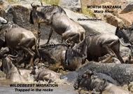 Wildebeest migration, deaths in the rocks!        ————————–96K VIEWS