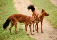 Asiatic Wild Dogs…