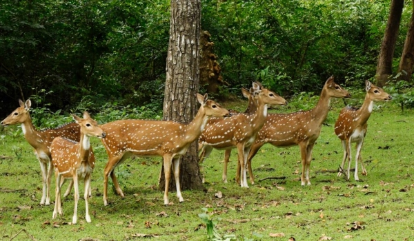 Spotted Deers-Herd of females