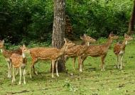 Spotted Deers-Herd of females