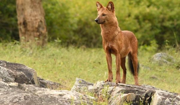 The Wild Dog…
