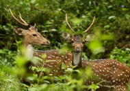 Spotted Deers-father & son.