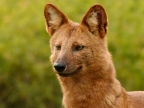 is also called Dhole.