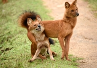 Funny Asiatic Wild Dogs.
