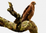 Indian Spotted Eagle – juv.