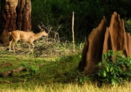 Spotted Deer & termite mound