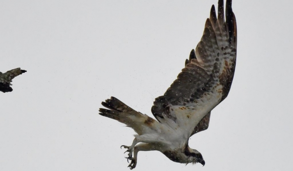 Osprey under the rain