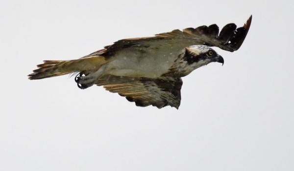 Osprey under the rain