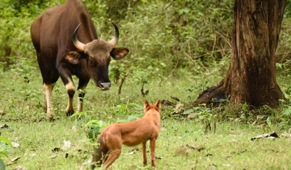 The Gaur saw the danger…