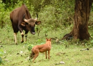 The Gaur saw the danger…