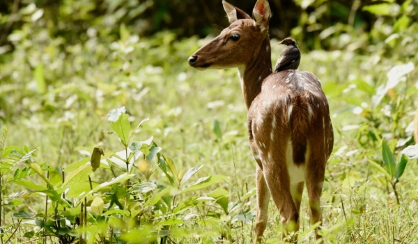 Female Spotted Deer….