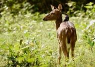 Female Spotted Deer….