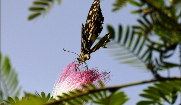 citrus swallowtail-pink silk tree