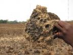 Larvae are found inside