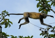 of a Gray Langur