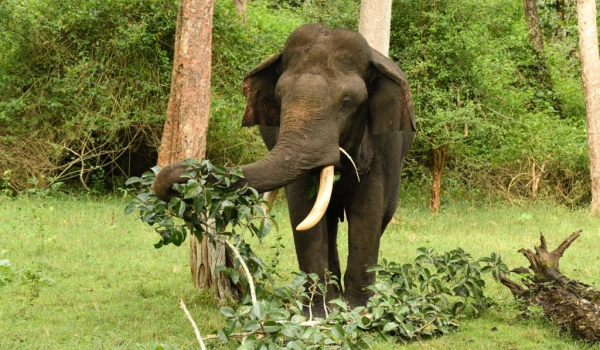 Indian Elephant eating leaves