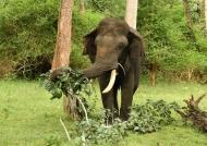 Indian Elephant eating leaves