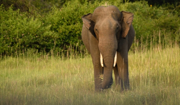 Indian Elephant – adult