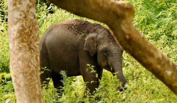 Indian Elephant – baby