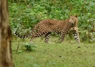 Indian Leopard – male
