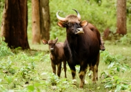 Gaur mother with her 2 calves
