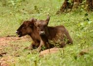 Baby Gaurs or Gaur calves