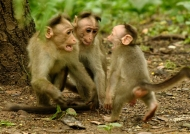 Macaque family discussion
