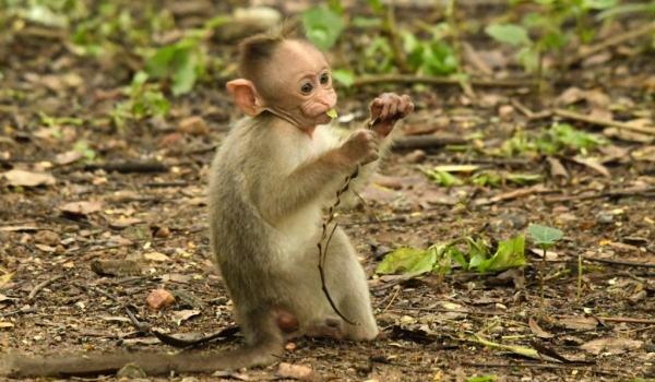 Bonnet Macaque – baby