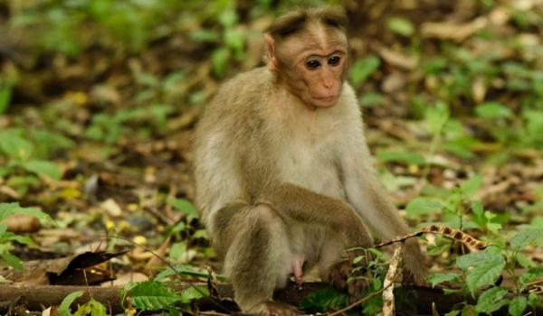 Bonnet Macaque very pensive