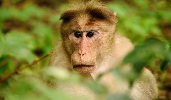 Bonnet Macaque worried