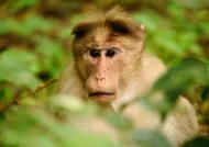 Bonnet Macaque worried