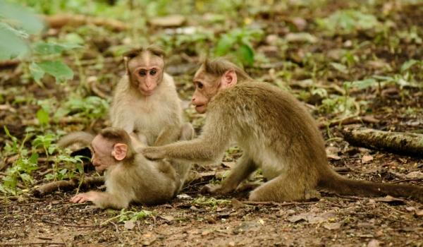 Bonnet Macaque family