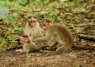 Bonnet Macaque family