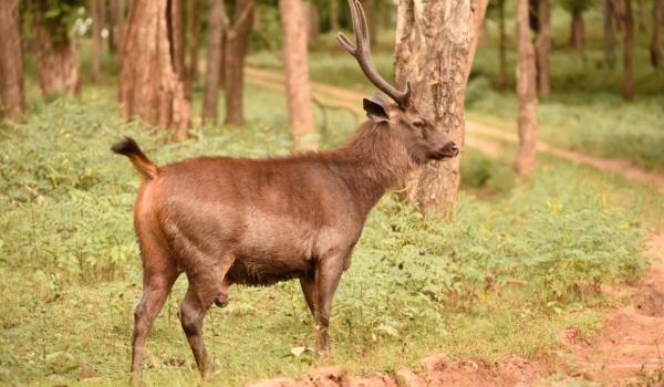 Sambar – male