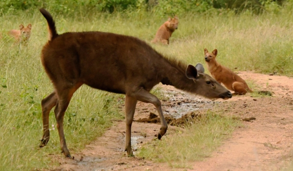 Female Sambar crossing….