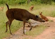 Female Sambar crossing….