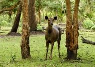 Sambar Deer – Female