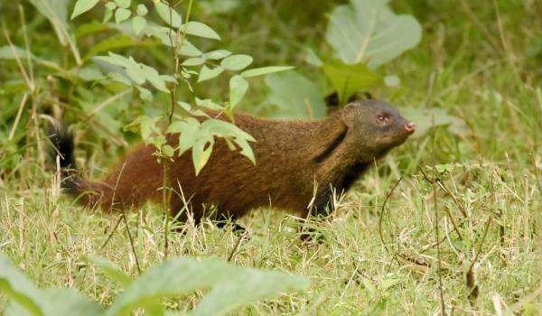 Stripe-necked Mongoose