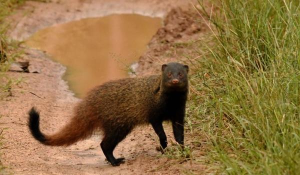 Stripe-necked Mongoose….