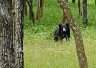 Sloth Bear – male