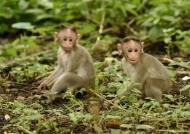 Bonnet Macaque – babies