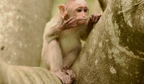 Bonnet Macaque – baby