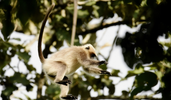 Gray Langur can jump 4 meters