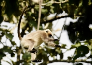 Gray Langur can jump 4 meters