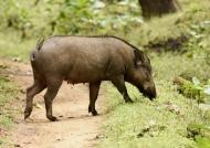 Indian Boar – female